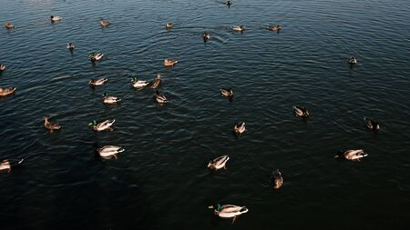 ducks swim on the lake. View from above. Flock of birds. Caring for the environment.