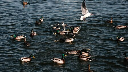 many ducks and gulls float chaotically in the water. Ducks on a lake. Large flock of ducks and gulls swim in lake. waterfowl