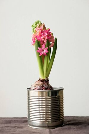 blooming hyacinth in an iron can. Pink hyacinth, inflorescences closeup