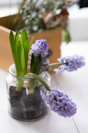 Hyacinth, Hyacinthus orientalis - common, Dutch or garden hyacinth with violet and pink flowers