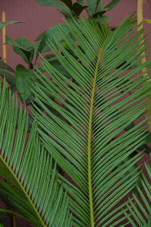 Different green tropical plants, such as palm trees in a botanical garden or arboretum. Palm leaf closeup.