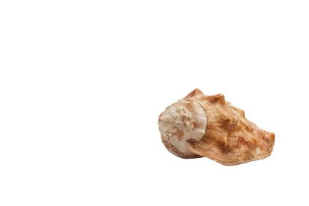 mollusc: Isolated empty gastropod