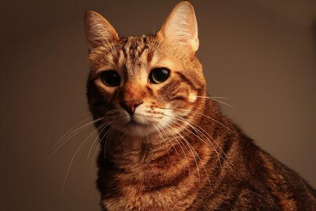 portrait of a senior tabby cat