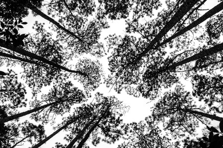 black forest: Black and White picture of treetops