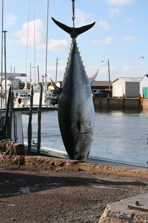 A giant blue fin tuna is prepared to be bought ashore