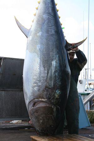 Un gigante tonno rosso è pronto per essere macellati Archivio Fotografico - 3708754