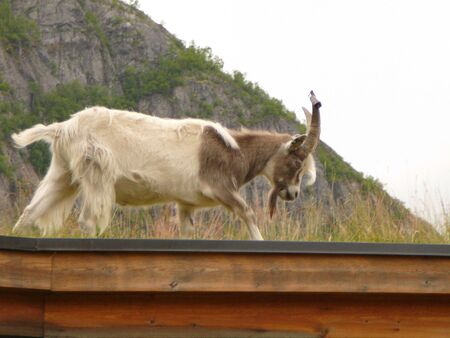 cabra montes: Una cabra mont�s camina a trav�s de un puente en Noruega Foto de archivo