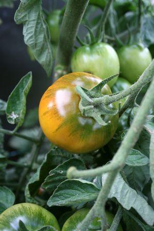 Rijping Tomato