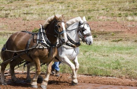 horse pull: Horse Pull Stock Photo