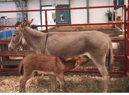 jack ass: Mother and Baby Donkey  Archivio Fotografico