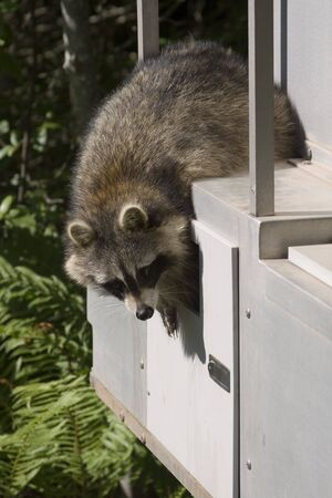varmint: Reaching Raccoon