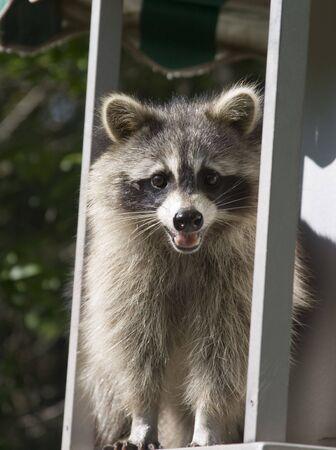 varmint: Raccoon