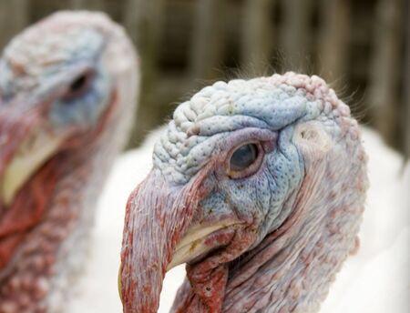 Live Turkey