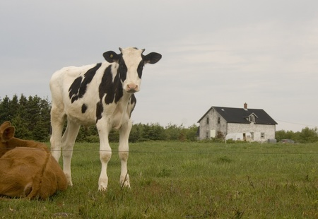 Holstein Calf photo