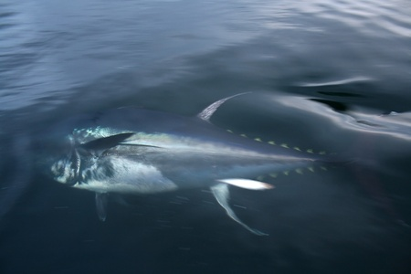 blue fin tuna photo