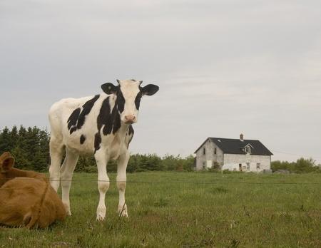 Holstein Calf Stock Photo