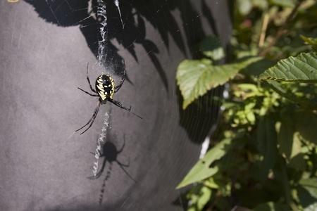 Gele en zwarte spin Stockfoto