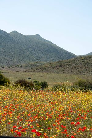 Wild Poppies photo