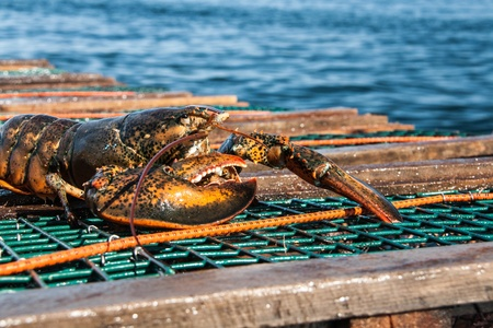 Atlantic Lobster Archivio Fotografico - 20734880