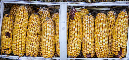 calico:  calico corn Stock Photo