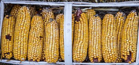 calico:  calico corn Stock Photo