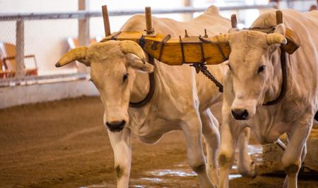 oxen pulling Banque d'images
