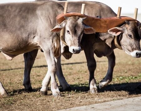 ox: team of oxen