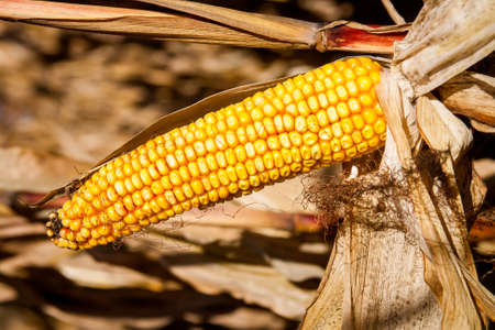 ripe: ripe cattle corn