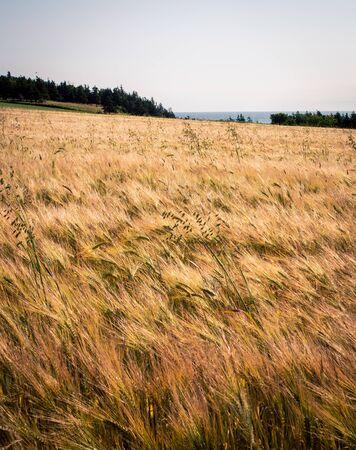 Ripe barley field Stok Fotoğraf