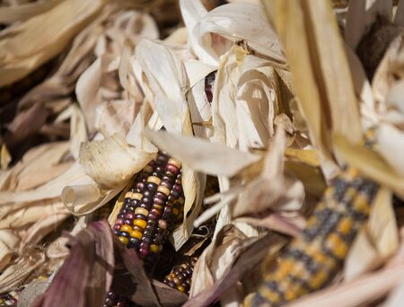 flint: Flint corn or Indian corn