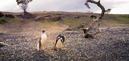 tierra: penguins Tierra del Fuego Stock Photo