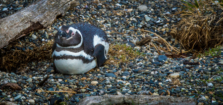 tierra del fuego: nesting penguin Tierra del Fuego Stock Photo
