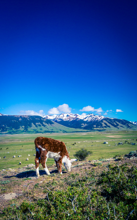 Hereford calf in Patagonia