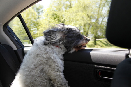 wind blown: Small dog gets wind blown looking out moving car window