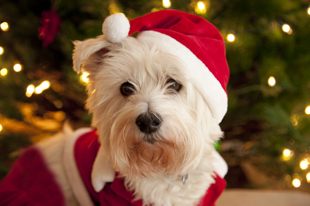 Portrait of a cute white terrier dog wearing a red and white santa suit Stock Photo - 77968882