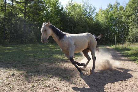 Grey horse cantering Stock Photo