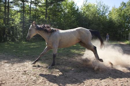 grey horse running Stock Photo