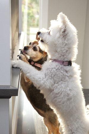 Two little dogs one white and one brown each standing on two legs and expectantly trying to see out of a window for their master or mistress coming home.