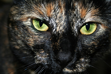 a scary, intense, green eyed tortoiseshell dark haired cat glares at the camera