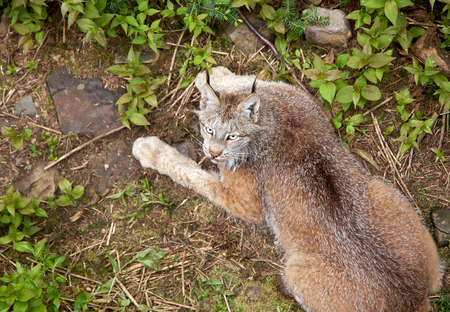 a brown lynx with yellow eyes looks at the camera