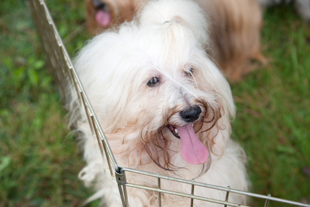 cute fluffy white dog with a ponytail and tongue hanging out in a cage outside Reklamní fotografie