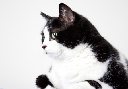 a chubby fluffy black and white housecat poses for her close up