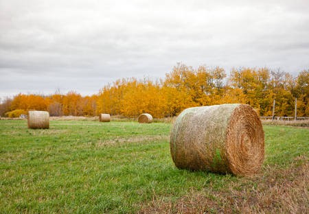 in a grassy field with yellow orange trees behind, bales of hay are rolled