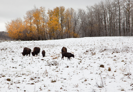a gang of brown bison munching on grass outside in the snow, with autumn orange trees and a winter landscape at Elk Island Park in Alberta, Canada