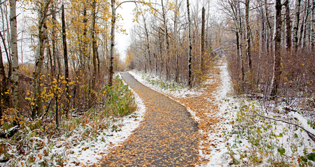 divergence: a snowy winter path with a fork in the road, with autumn leaves in Canada