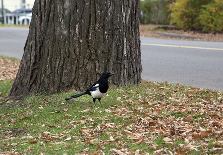 a blue and white magpie, a common bird in edmonton, alberta sits on the ground by a tree in autumn