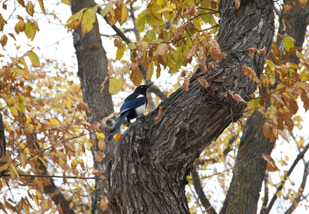 a blue magpie sits high in a yellow autumn tree