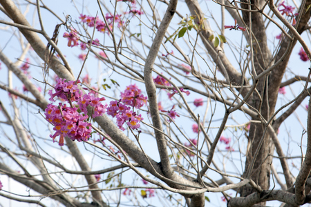 beautiful pink and red blossoms bloom on a cherry tree with branches in the sun Stock Photo