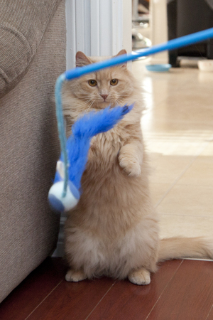 Cat stands on hind legs looking at a blue feather ball toy, ready to pounce