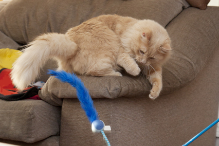 Cat sits on side of chair ready to attack a fluffy blue toy